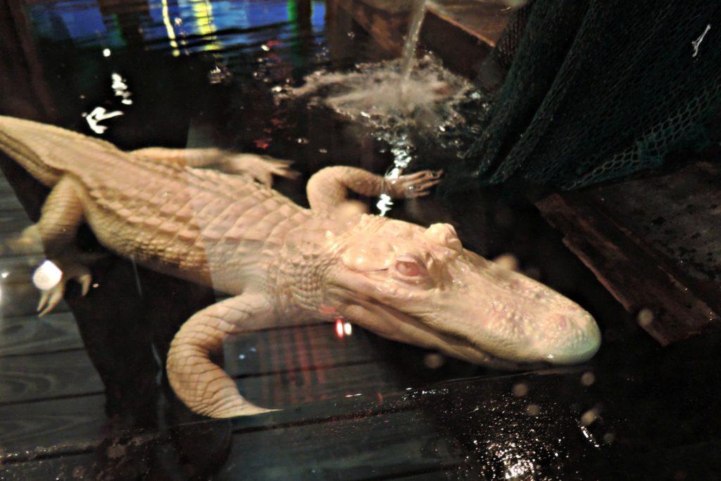 Pearl - Albino Alligator
