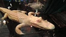 Pearl - Albino Alligator